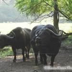 Wasser-Büffel im Haller-Park