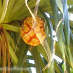 An orange Fruit, very Pineapple-like in a Palm Tree