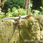 Türkise Eidechsen mit orangenen Köpfen.