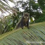 Affe auf Palme.
