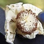 Creme-weisse Blüte mit braunen Stempeln – Cappucino-Blüte.