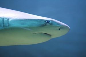 Shark near the surface