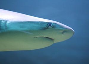 Shark-w400-h267_by_Corwin von Kuhwede_pixelio.de