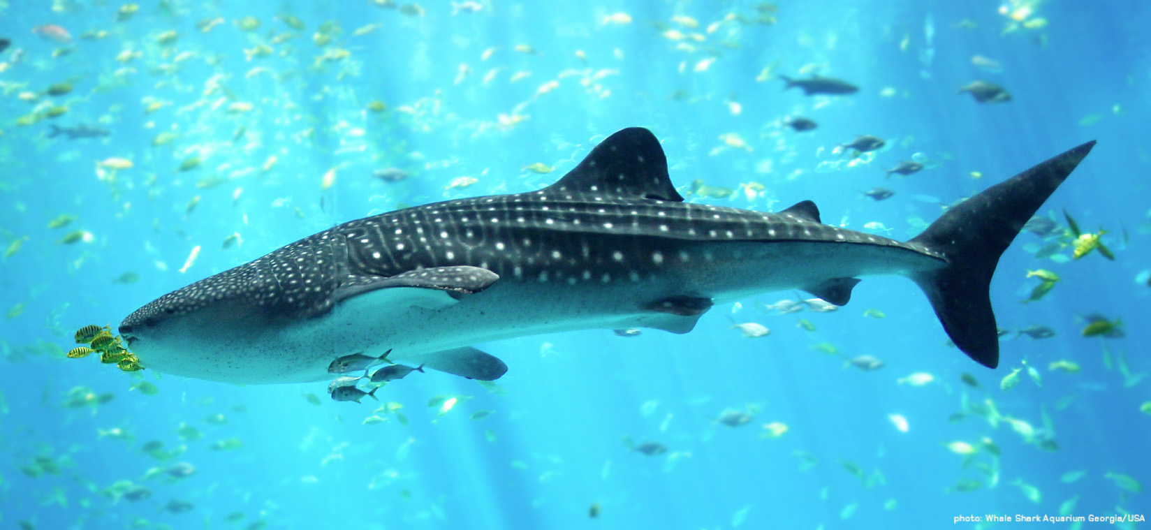 Whale-Shark-Aquarium-Georgia-USA