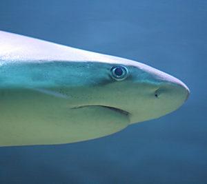 Shark Fin Trade In Kenya